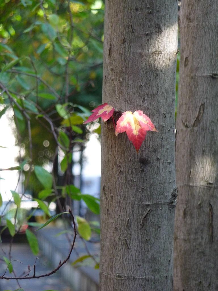 Feuilles aux couleurs d'automne sur un tronc d'arbre, square Louis Majorelle, Paris 11e (75)