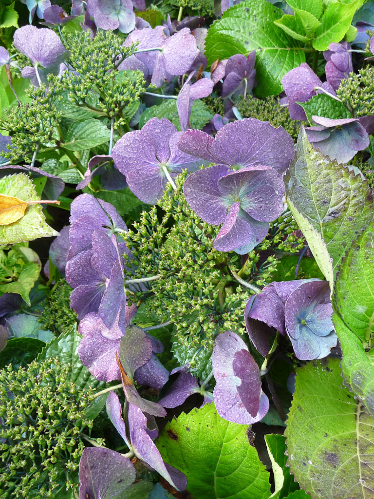Hydrangea macrophylla 'Eisvogel', Fête des Plantes, Fruits et Légumes d'hier et d'aujourd'hui, Domaine de Saint-Jean de Beauregard (Essonne)