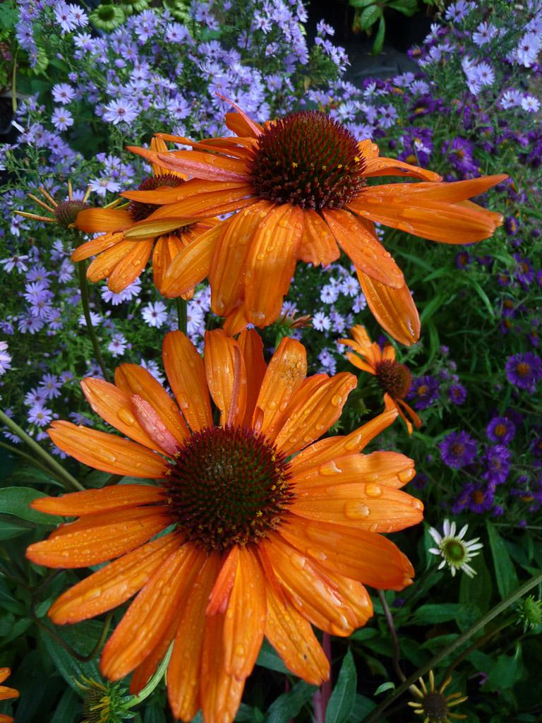 Echinacea 'Tiky Torch', Pépinière Le Châtel des Vivaces, Fête des Plantes, Fruits et Légumes d'hier et d'aujourd'hui, Domaine de Saint-Jean de Beauregard (Essonne)