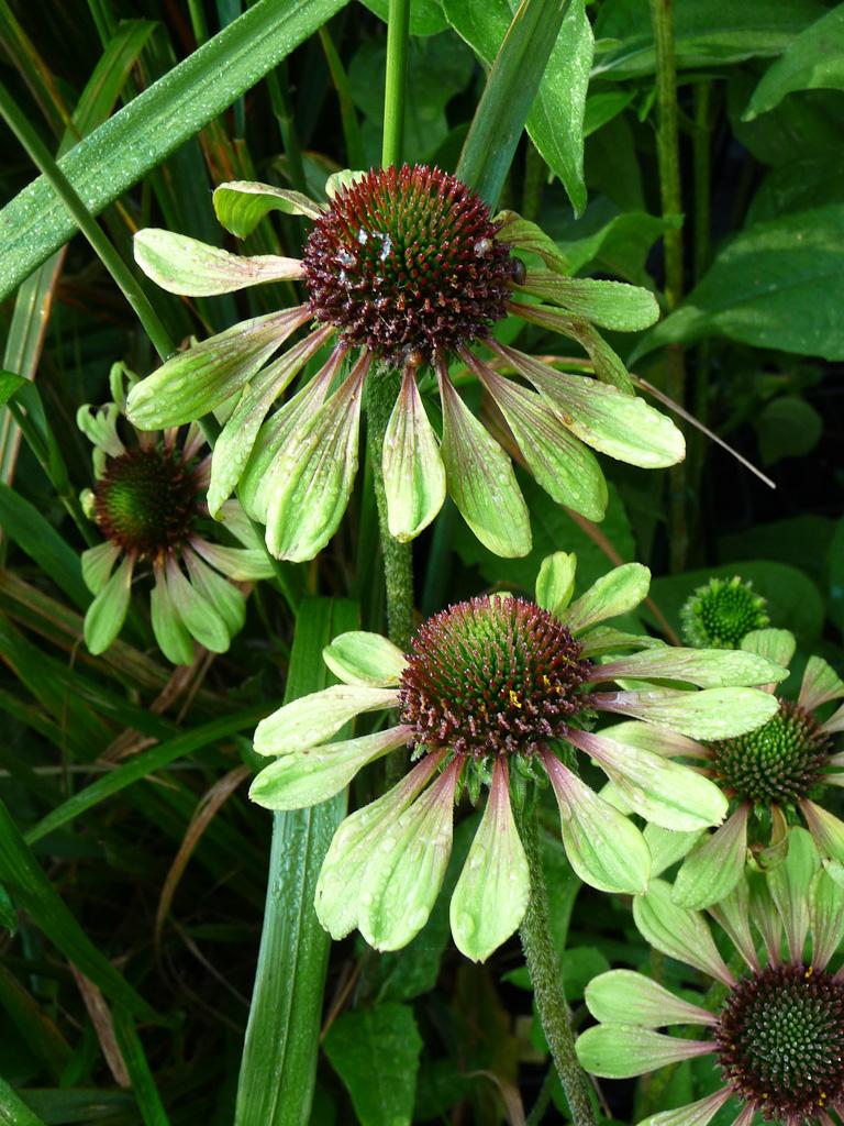Echinacea 'Green Envy', Pépinière Le Châtel des Vivaces, Fête des Plantes, Fruits et Légumes d'hier et d'aujourd'hui, Domaine de Saint-Jean de Beauregard (Essonne)
