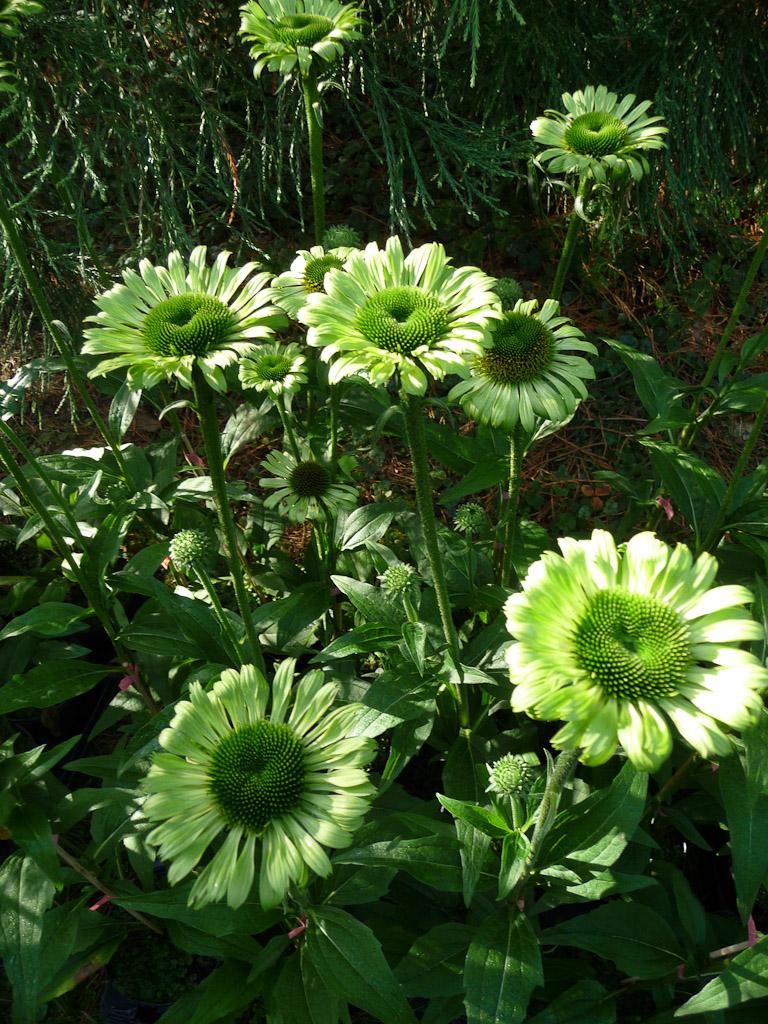 Echinacea 'Green Jewel', Fête des Plantes, Fruits et Légumes d'hier et d'aujourd'hui, Domaine de Saint-Jean de Beauregard (Essonne)
