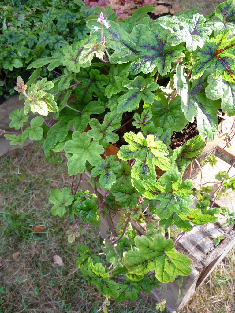 Tiarella 'Happy Trails', Hostafolie, Fête des Plantes, Fruits et Légumes d'hier et d'aujourd'hui, Domaine de Saint-Jean de Beauregard (Essonne)