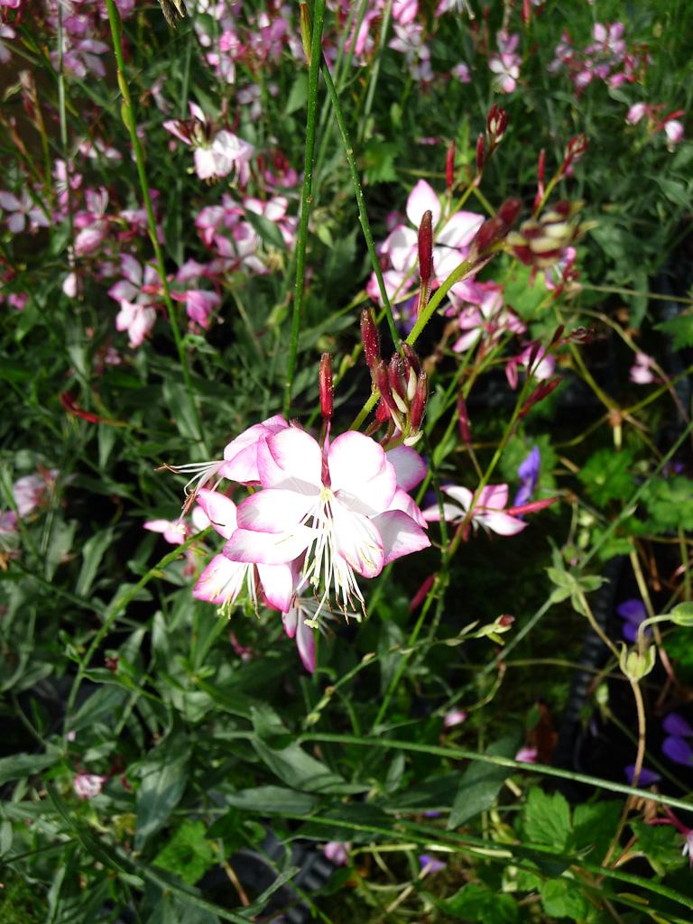 Gaura 'Rosy Jane', Fête des Plantes, Fruits et Légumes d'hier et d'aujourd'hui, Domaine de Saint-Jean de Beauregard (Essonne)