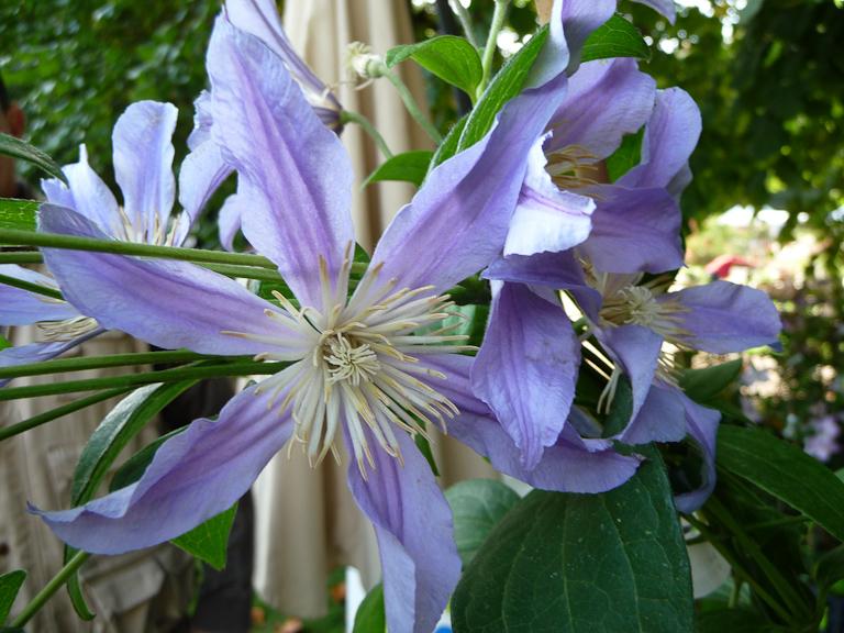 Clématite 'Blue River'® Zoblueriver, Fête des Plantes, Fruits et Légumes d'hier et d'aujourd'hui, Domaine de Saint-Jean de Beauregard (Essonne)