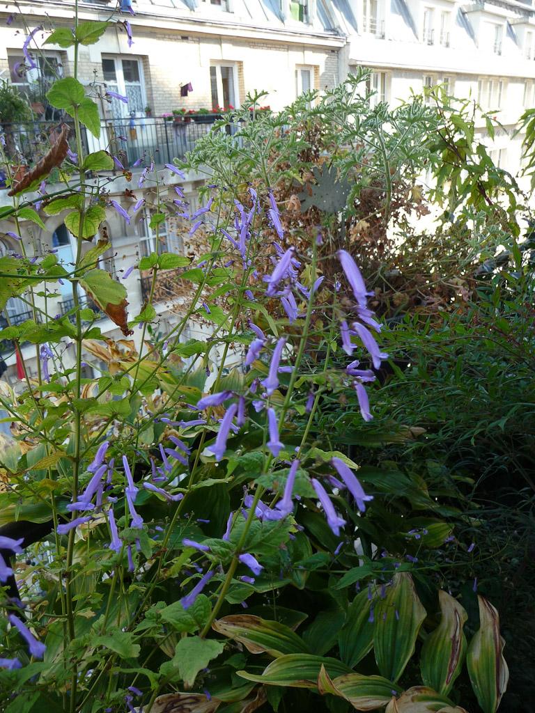 Rabdosia longituba sur mon balcon en automne
