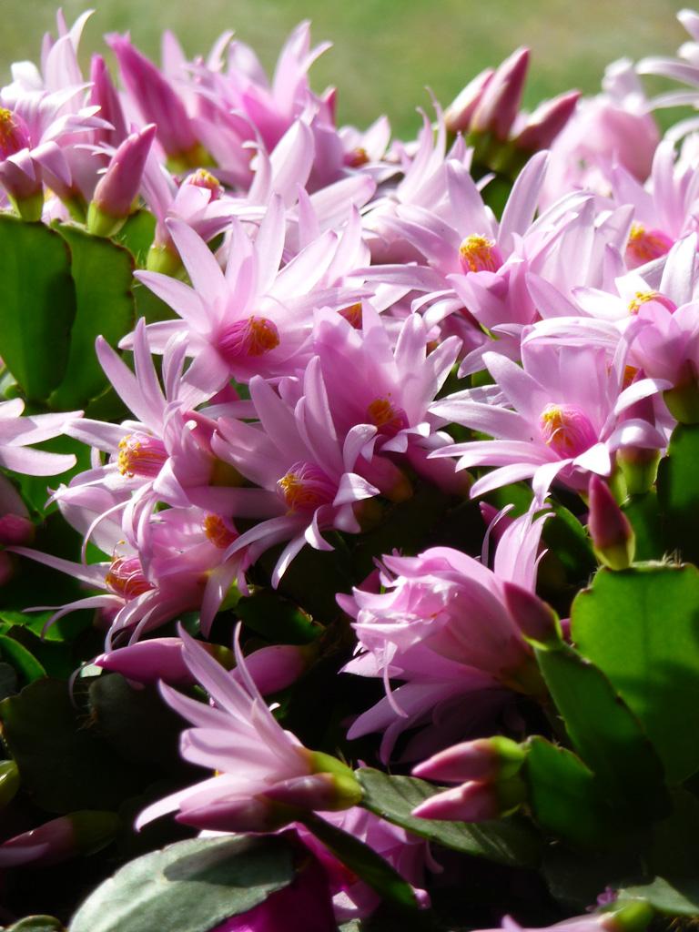 Cactus de Pâques (Rhipsalidopsis 'Pawnee Spirit'), Édénia 2012, Cergy-Pontoise (95)