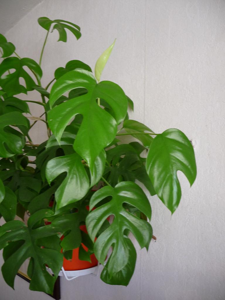 Philodendron 'Piccolo' (Monstera deliciosa 'Piccolo'), Aracées, plante verte d'intérieur
