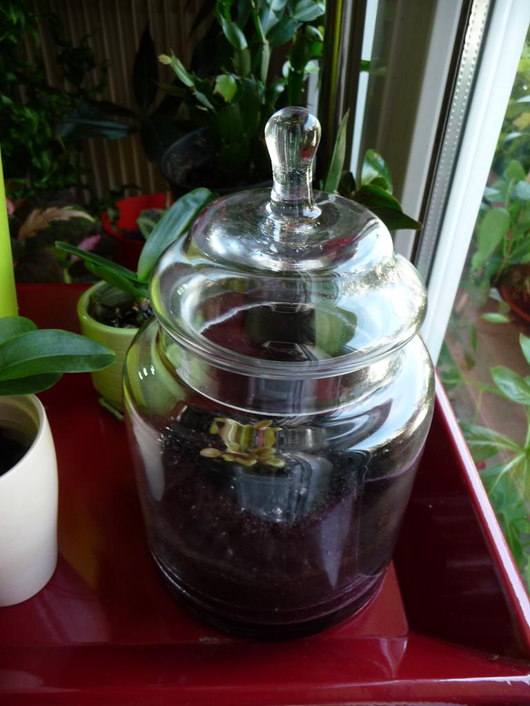 Saintpaulia 'Rob's Twinkle Blue' dans un bocal en verre