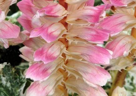 Floraison d'Acanthus 'Whitewater'