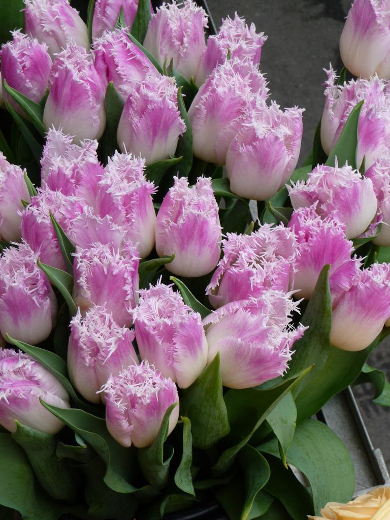 Bouquet de tulipes frangées, quai de la Mégisserie, Paris 1er (75)