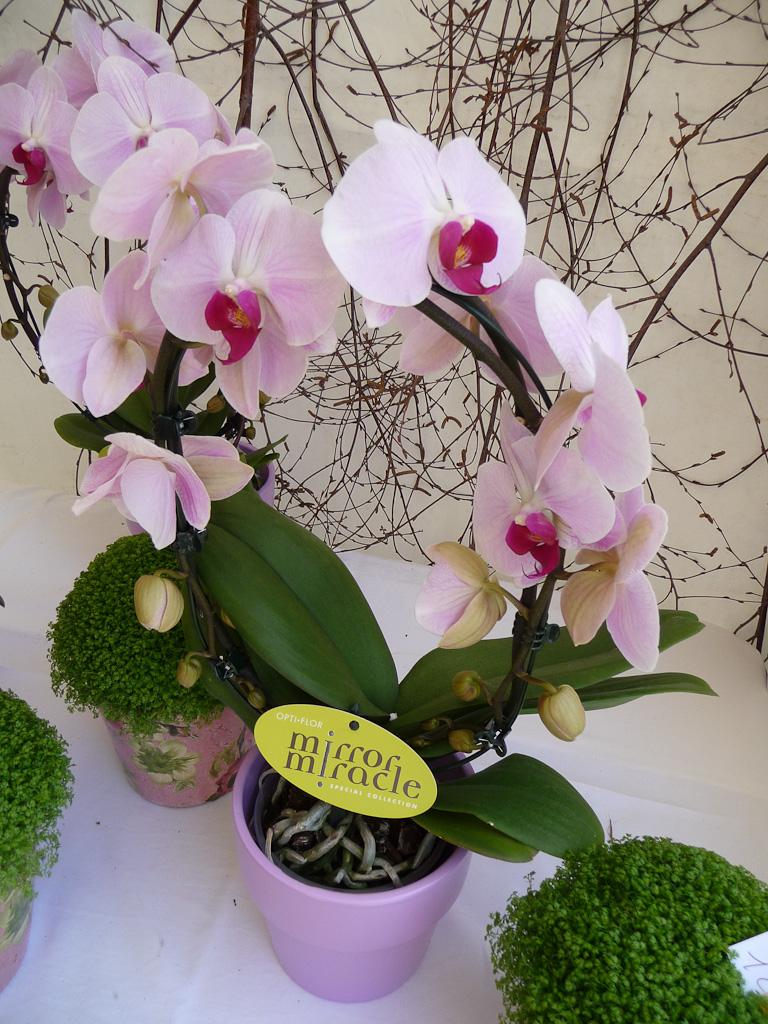Phalaenopsis sur arceau, Esprit Jardin à Versailles (78)
