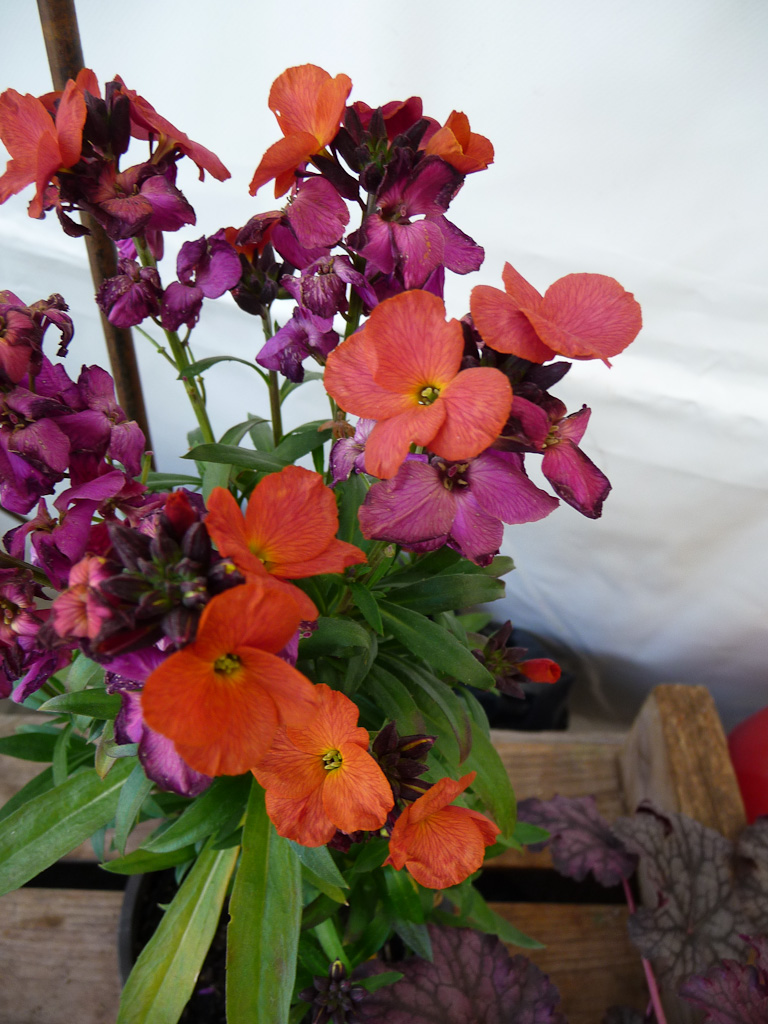 Giroflée arbustive (Erysimum linifolium 'Winter Orchid'), Esprit Jardin à Versailles (78)