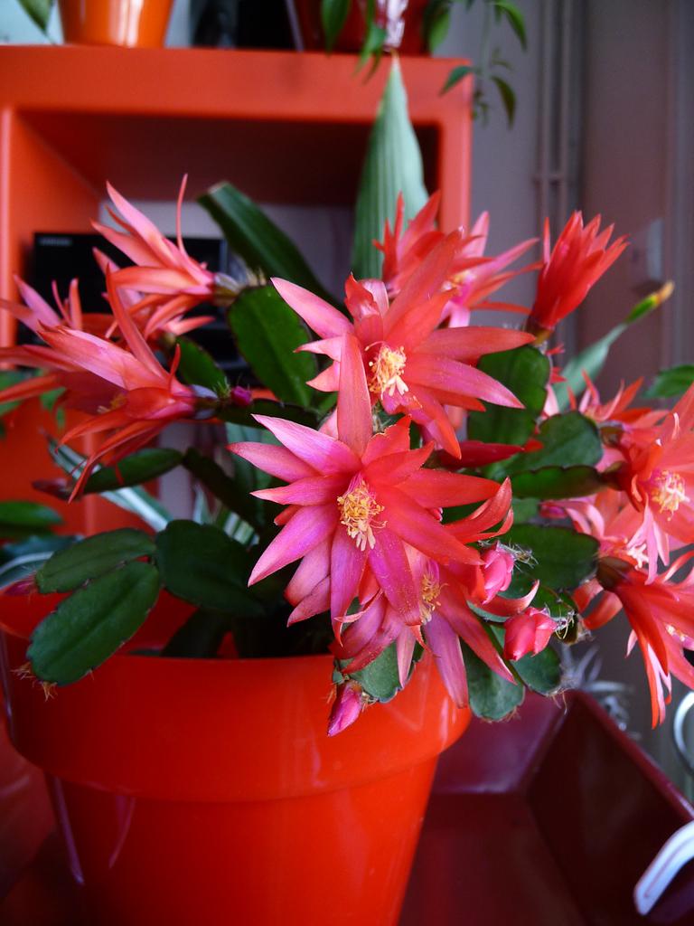 Floraison d'un cactus de Pâques, Rhipsalidospsis 'Sioux', Cactacées, plante d'intérieur