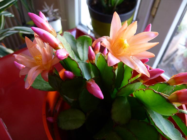 Floraison d'un cactus de Pâques, Rhipsalidopsis 'Mohawk', Cactacées, plante d'intérieur