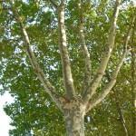 Platane commun (Platanus x acerifolia), quai Branly, Paris 7e (75)