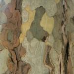 Écorce de platane commun (Platanus x acerifolia), quai Branly, Paris 7e (75)