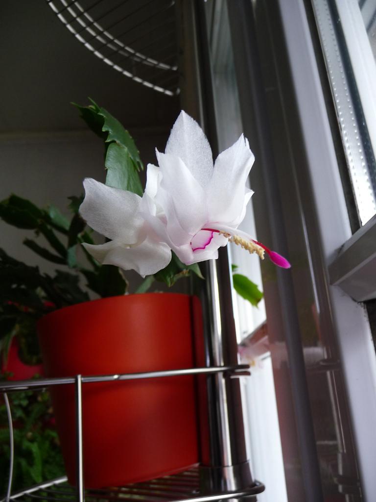 Floraison de mon cactus de Noël, Schlumbergera (Cactacées)