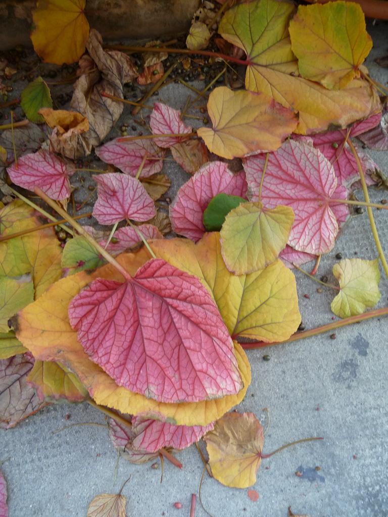 Feuillage d'automne de mon Begonia grandis ssp. evansiana 'Alba' sur mon balcon, Paris 19e (75)