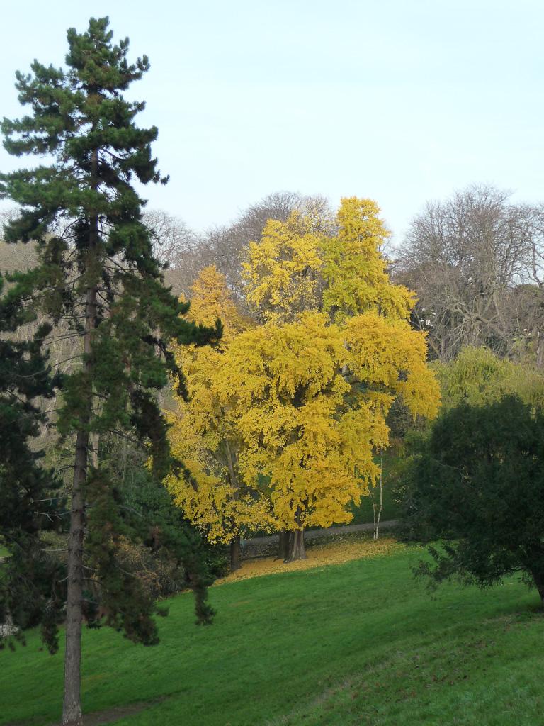 Grand Ginkgo biloba dans le parc des Buttes-Chaumont en automne