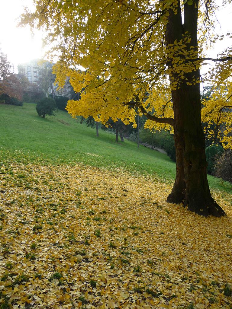 Tapis de feuilles mortes et feuillage doré d'un Ginkgo biloba dans le parc des Buttes-Chaumont, Paris 19e (75)