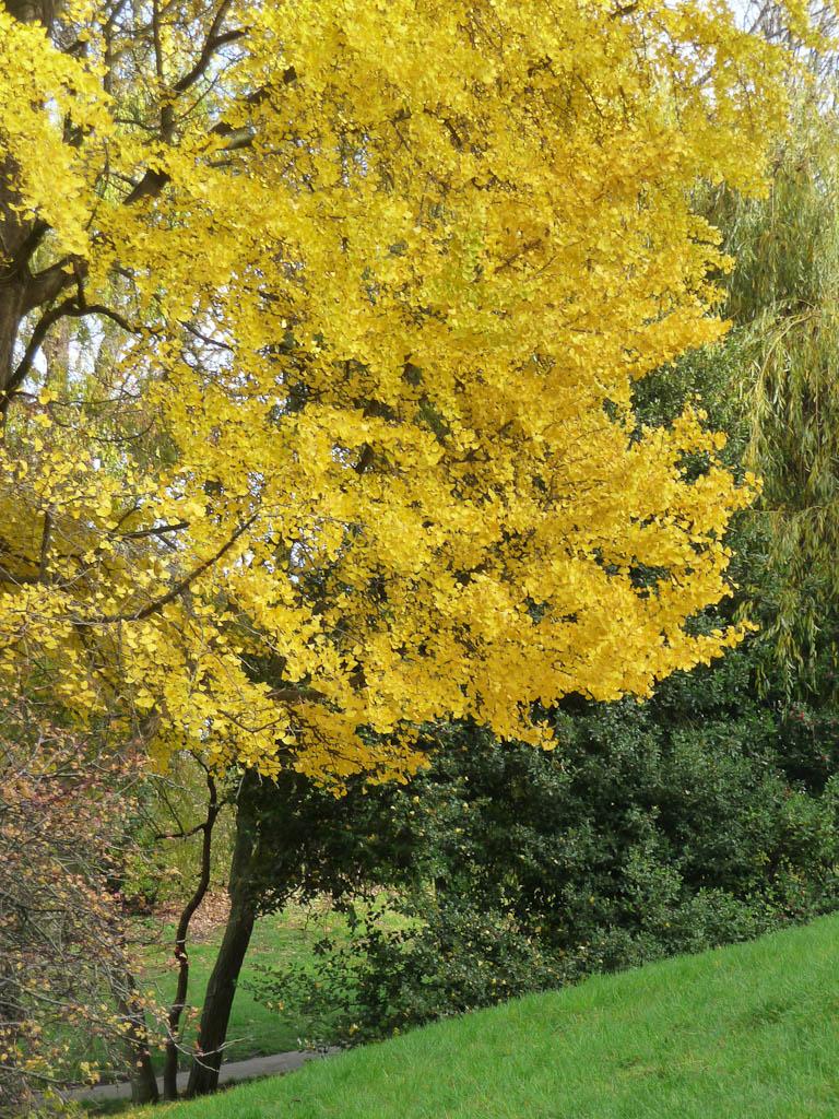 Feuillage doré d'un Ginkgo biloba dans le parc des Buttes-Chaumont, Paris 19e (75)