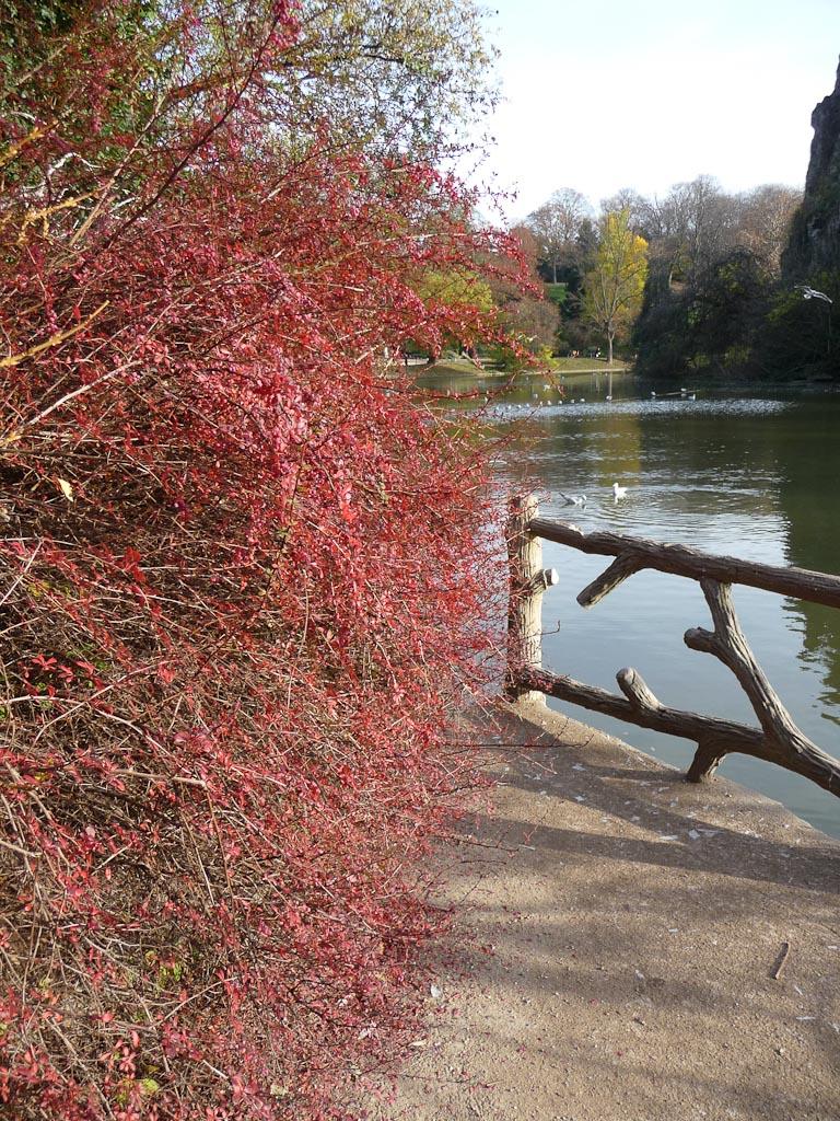 Berbéris au feuillage écarlate en automne