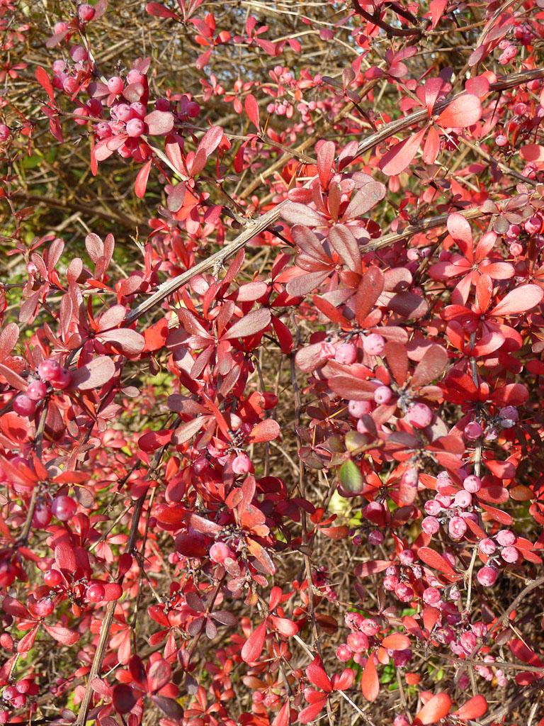 Berbéris à feuillage d'automne rouge