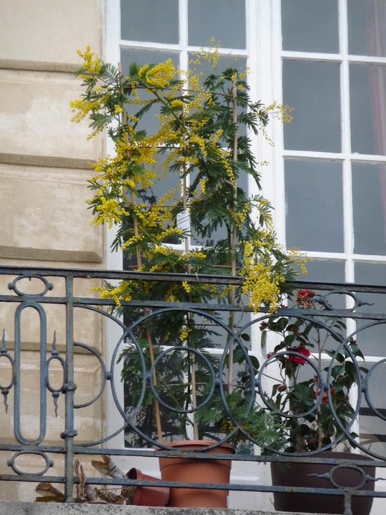 Potées de mimosa fleuri et de camélia sur un balcon de l'Île de la Cité, Paris 1er (75)