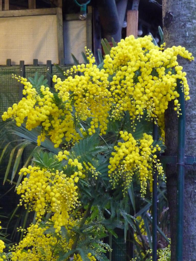 Mimosa fleuri (Acacia dealbata) dans le Marché aux fleurs de l'Île de la Cité, Paris 1er (75)