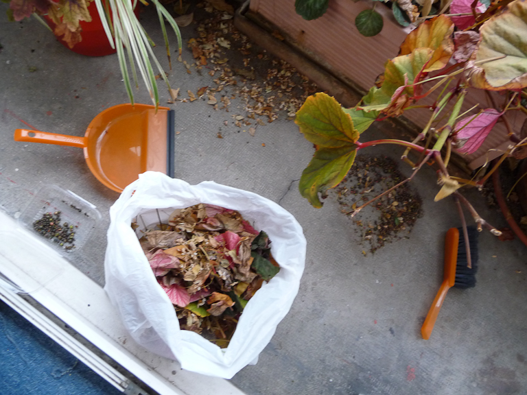 Ramassage des bulbilles du Begonia grandis ssp. evansiana 'Alba'
