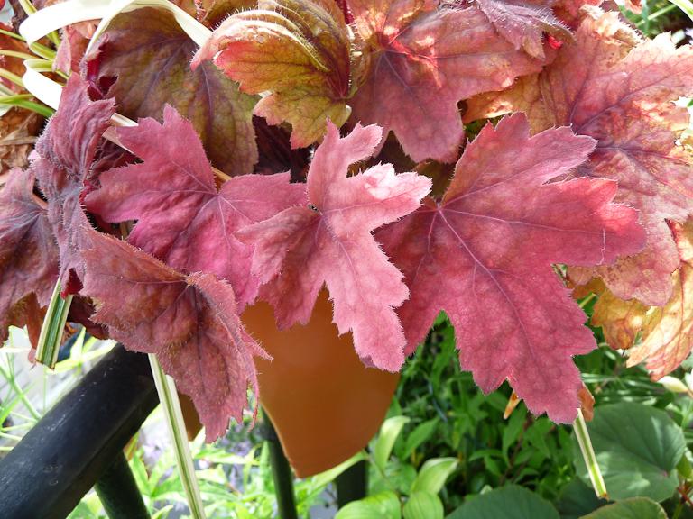 x Heucherella 'Sweet Tea' dans un pot Corsica Flower Bridge sur mon balcon en été