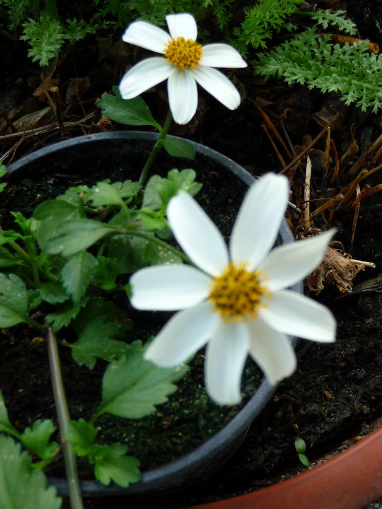 Bidens ferulifolia 'Pirate's Pearl' sur mon balcon au début du printemps