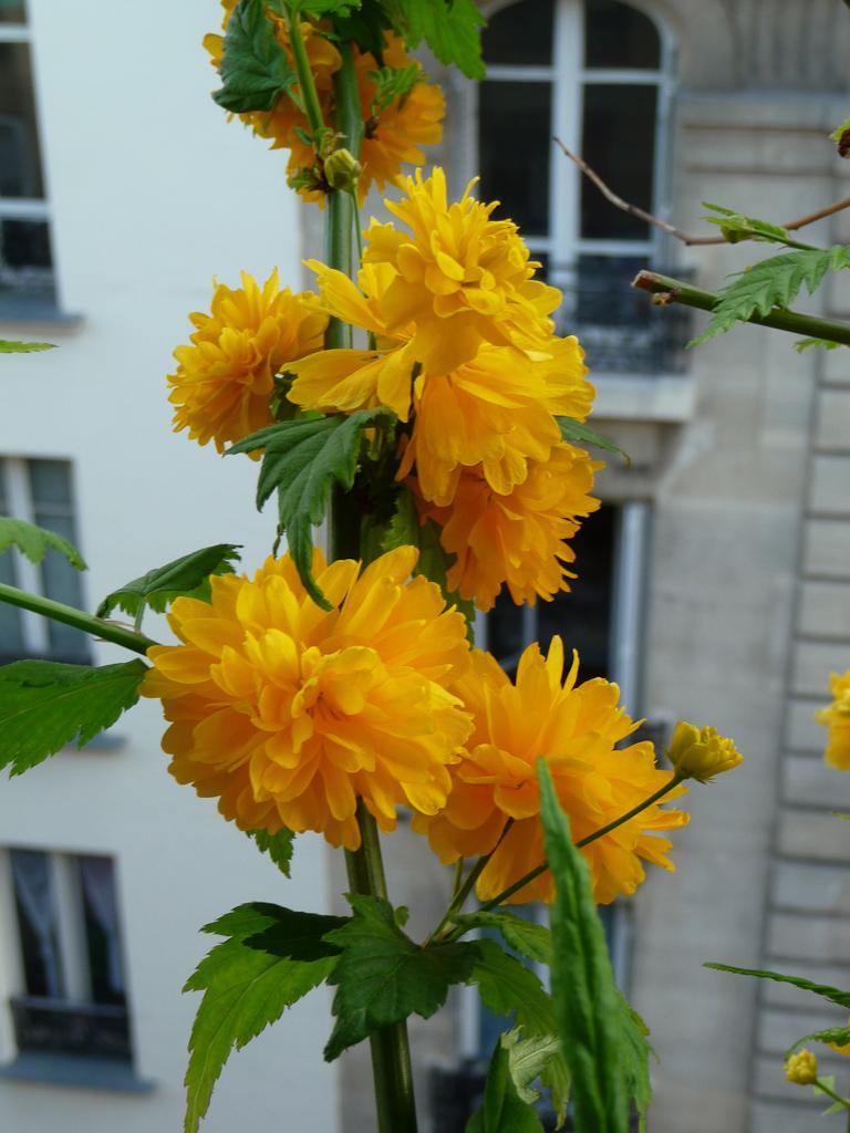 Corète du Japon (Kerria japonica 'Pleniflora') sur mon balcon au début du printemps