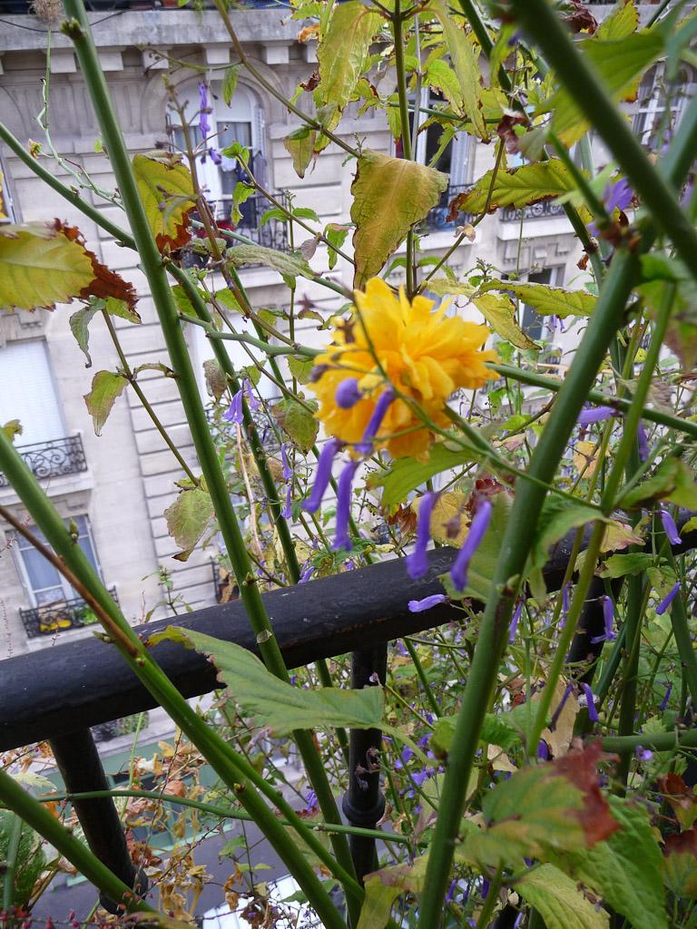 Corète du Japon et Rabdosia longituba sur mon balcon en automne