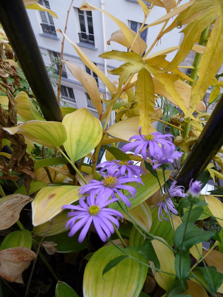 Aster et feuillages dorés des sceaux-de-Salomon et de l'Hibiscus coccineus 'Alba' sur mon balcon