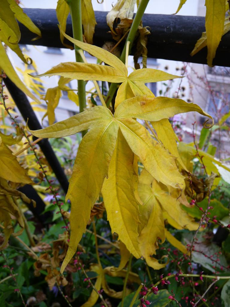 Feuillage doré de l'Hibiscus coccineus 'Alba' sur mon balcon en automne