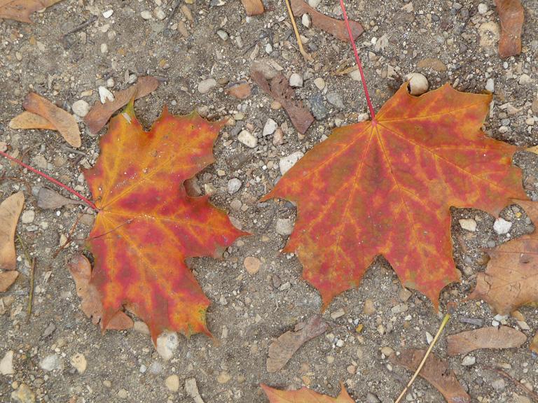 Feuilles mortes en automne dans le cimetière du Père Lachaise, Paris 20e (75)