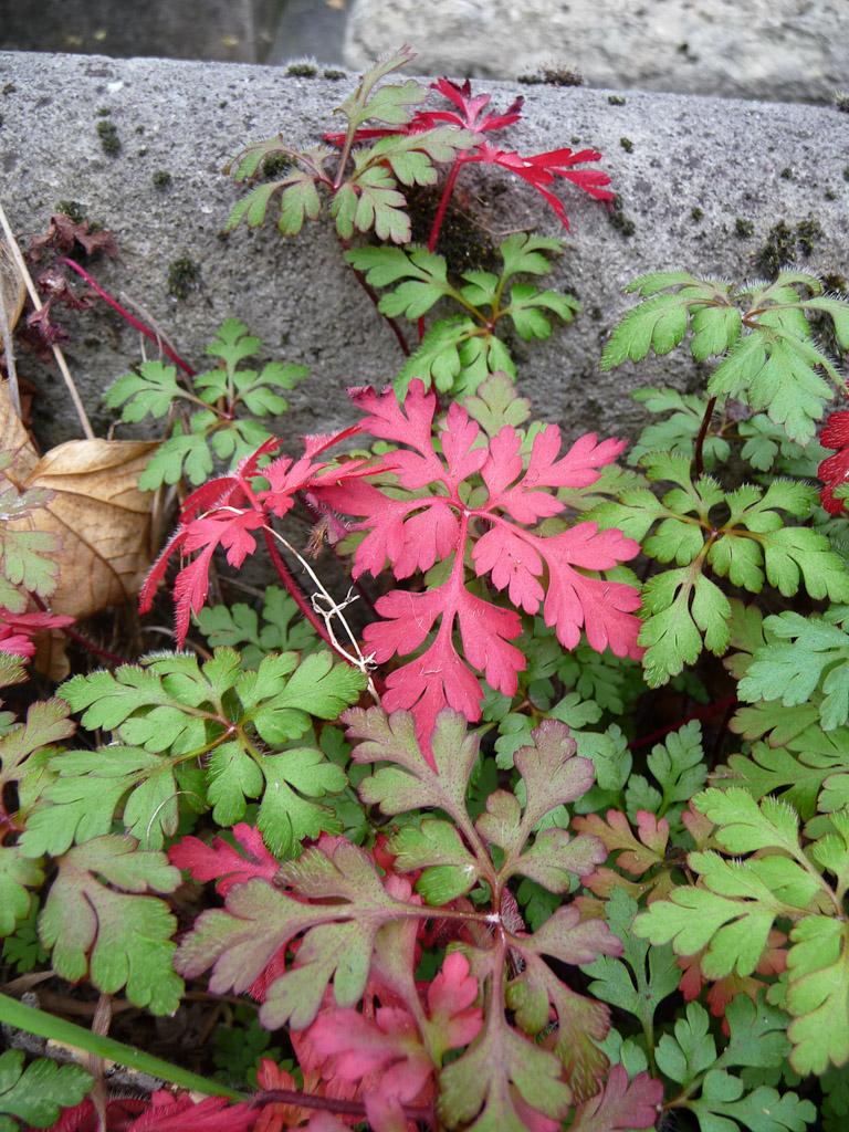 Geranium robertianum en automne dans le cimetière du Père Lachaise, Paris 20e (75)