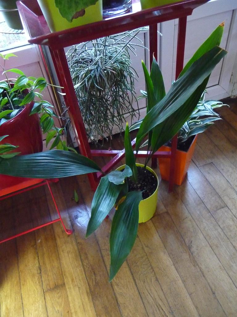 Potée d'aspidistra, plante d'intérieur