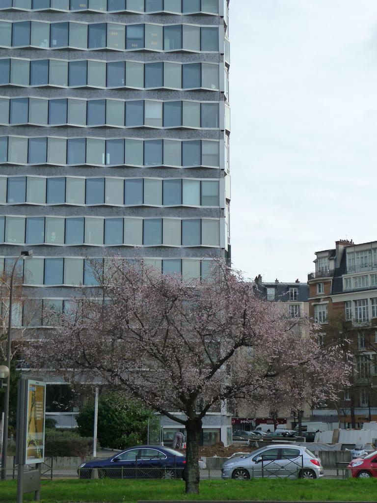 Cerisier d'hiver (Prunus) en fleur sur le quai André Citroën, Paris 15e (75)