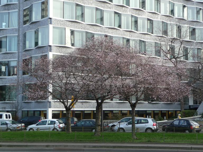 Cerisiers d'hiver (Prunus) en fleur sur le quai André Citroën, Paris 15e (75)