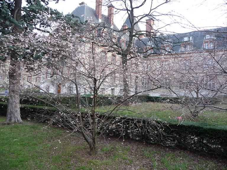 Cerisier d'hiver fin décembre dans la Cité Universitaire, Paris 14e (75)