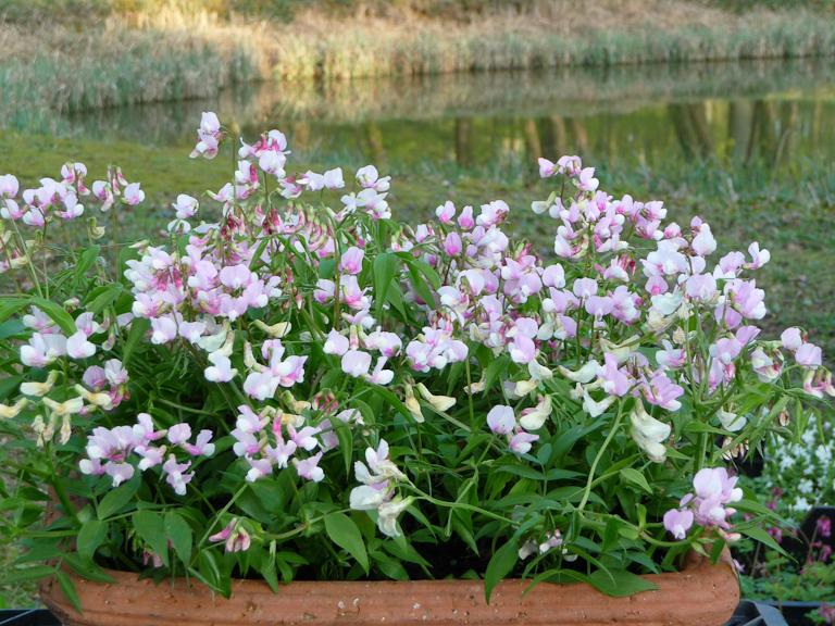 Lathyrus vernus, Le Jardin du Morvan, Fête des Plantes Vivaces de Saint-Jean de Beauregard, Essonne