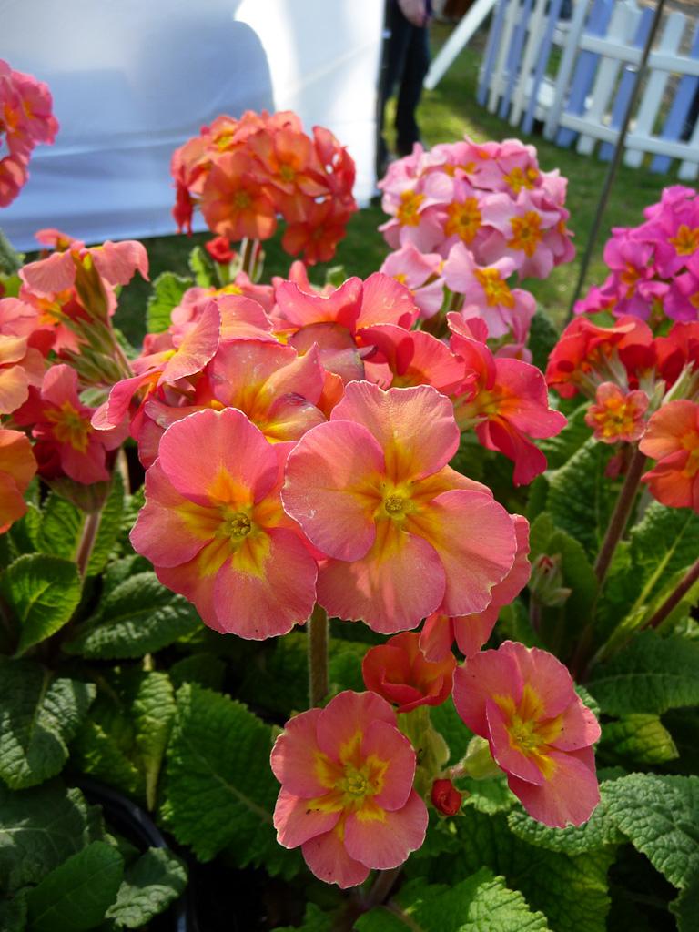 Primula x polyanthus 'Desert Sunset', Barnhaven Primroses, Fête des Plantes Vivaces de Saint-Jean de Beauregard, Essonne