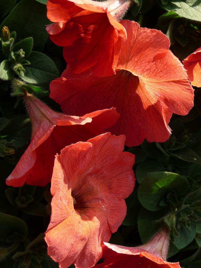 Pétunia à fleurs orange vif, Les Serres de Verville, (HPF), Fête des Plantes Vivaces de Saint-Jean de Beauregard, Essonne