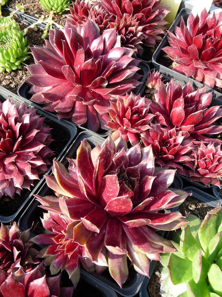 Sempervivum 'Feu de printemps', Gouin Horticulture, Fête des Plantes Vivaces de Saint-Jean de Beauregard, Essonne