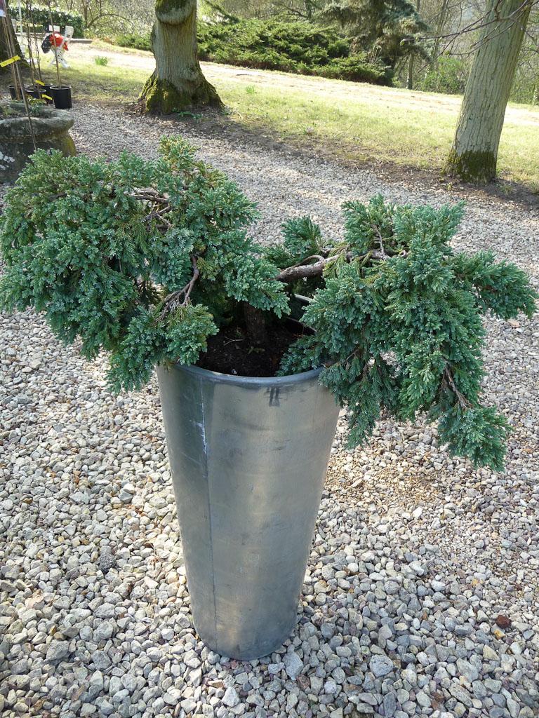 Juniperus squamata 'Blue Carpet', Pépinières des Laurains, Fête des Plantes Vivaces de Saint-Jean de Beauregard, Essonne