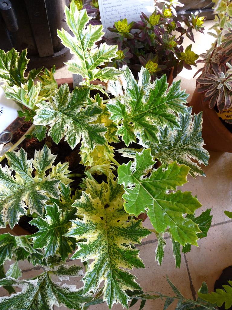 Acanthus 'Whitewater', Pépinière Hortus Veneris, Fête des Plantes Vivaces de Saint-Jean de Beauregard, Essonne