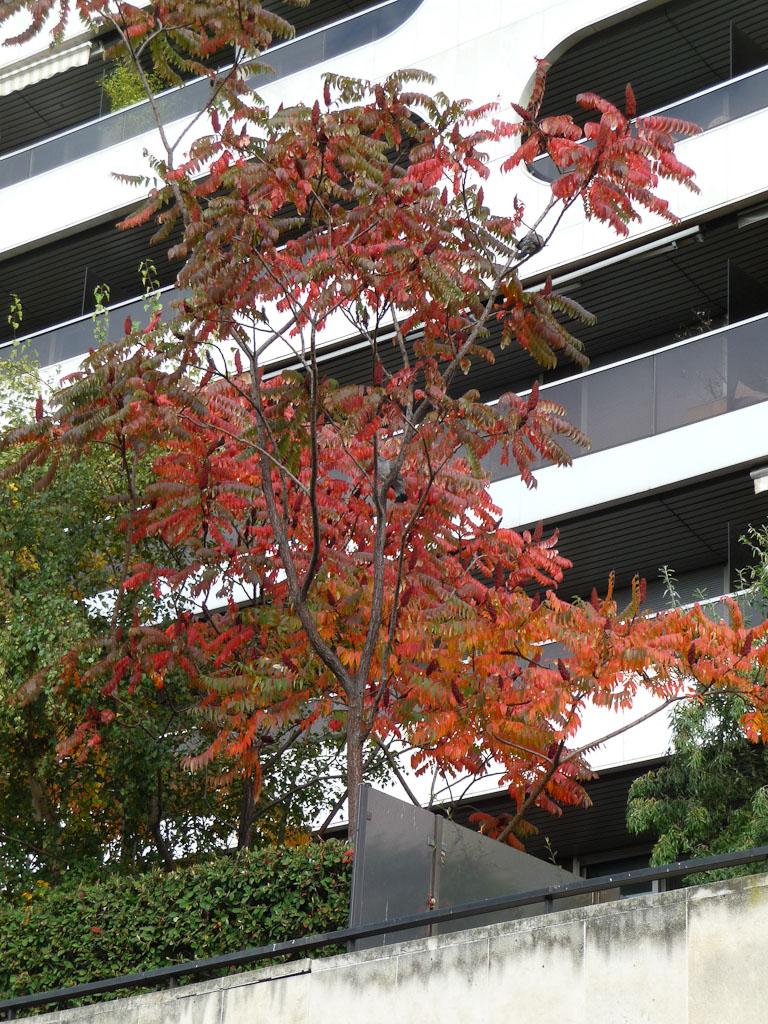 Rhus typhina avec ses couleurs d'automne, avenue du Président Kennedy, Paris 16e (75)