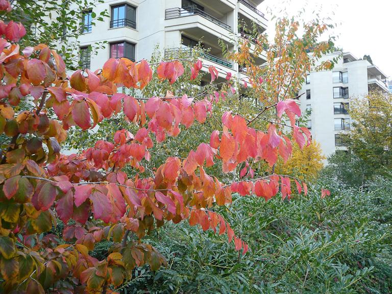 Parrotia persica en automne dans le parc de Passy, Paris 16e (75)